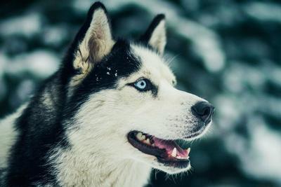 Порода собак - Хаски