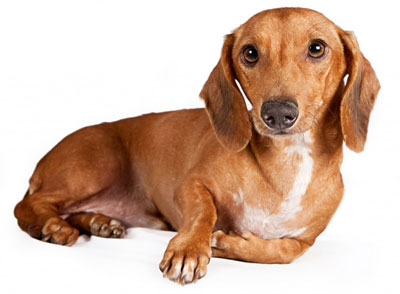 Порода собак - Такса